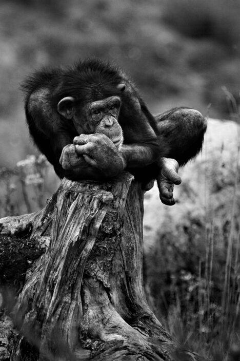 Aap Monkey