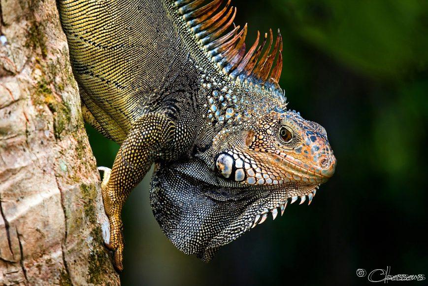Leguaan Iguana Costa Rica