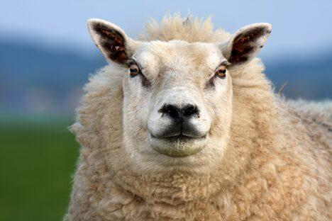 Schaap Sheep