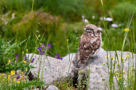 Steenuil, Owl