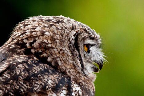 Uil, Owl