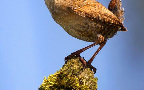 Winterkoninkje, vogel, bird