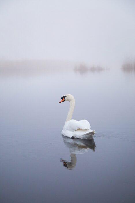 zwaan, swan
