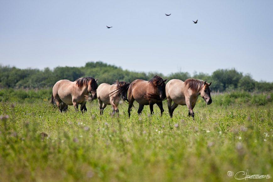 Konikpaarden horses summer