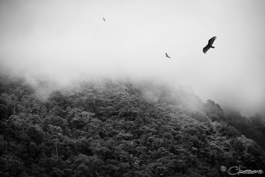 Roofvogels, Birds of prey, Costa Rica Uvita