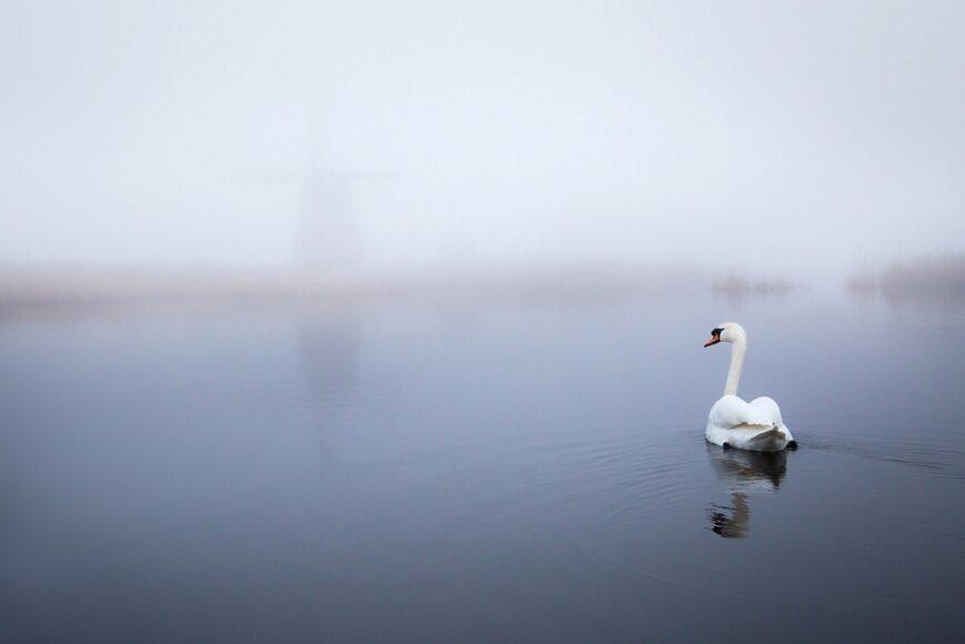 zwaan, swan, molen, windmill