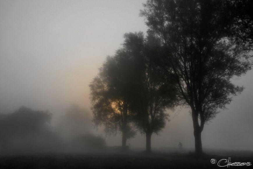 Holland Mist Trees