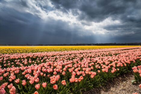 Tulpen Holland - Dutch Tulips