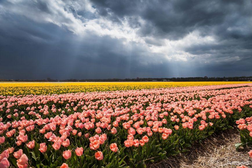 Tulpen Holland - Dutch Tulips