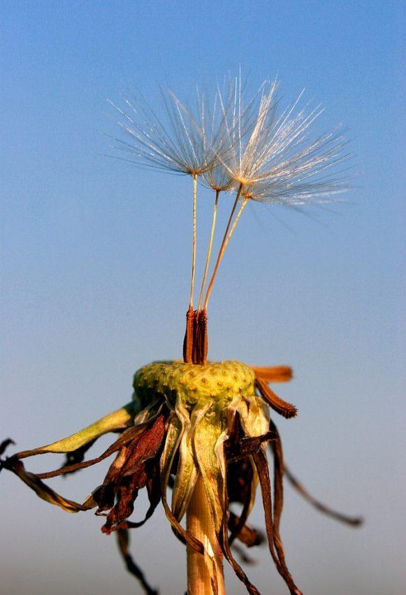 Dandelion Paardebloem pluis