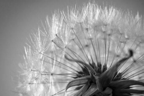 Dandelion - Paardebloem