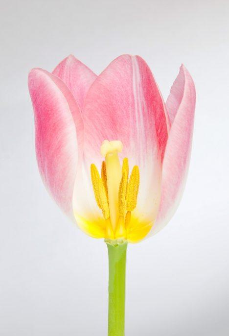 Pink Tulip Flower