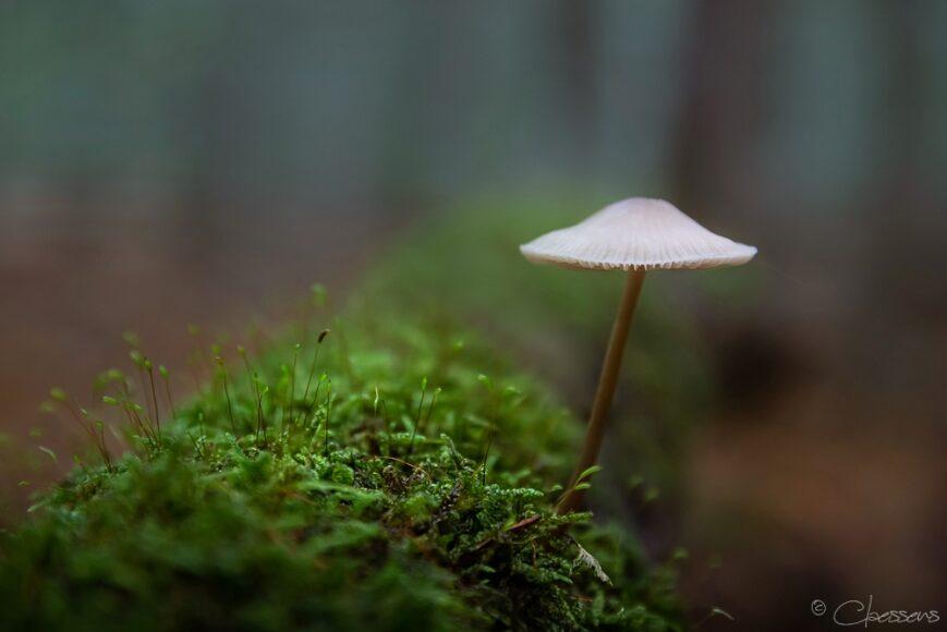 paddestoel mycena funghi mushroom